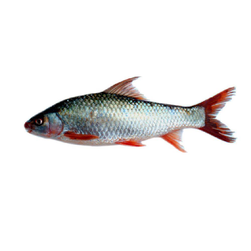 Fish Mrigal Frozen- Per Lb