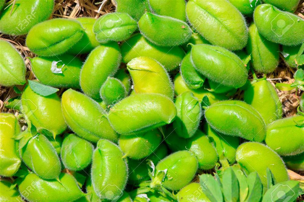 Fresh Chick Peas Channa Per Lb